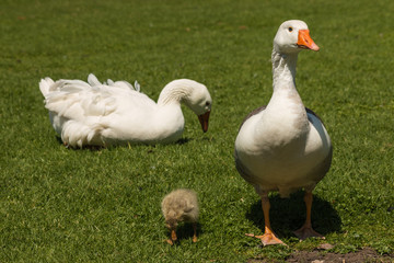 two domestic geese with gosling