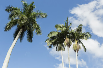 Palm trees in the tropics, view from below beautiful blue sky