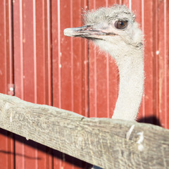 curious ostrich expected