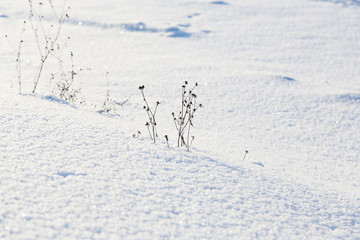 Dry grass on the sparkling snow