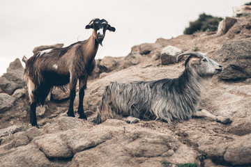 On the mountain goats