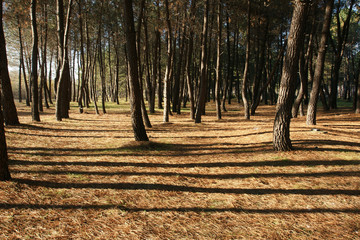 pine forest 11