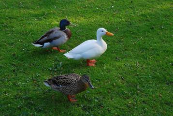 White goose and couple of wild ducks
