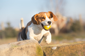 Agile Beagle dog with ball in his mouth