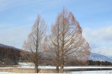 冬枯れの三本の大木/高原に立つ3本の大木がある冬の景色