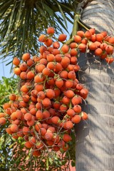 close up palm fruit in nature garden
