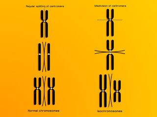 vector illustration of the chromosome
