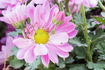 pink zinnia flower wither