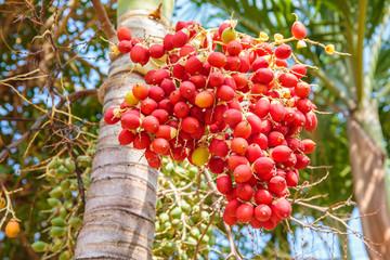 Red Sealing wax palm, Lipstick palm, Raja palm, Maharajah palm, Cyrtostachys renda ornamental plant in gardens.