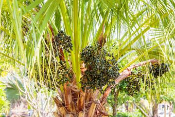 Sealing wax palm, Lipstick palm, Raja palm, Maharajah palm, Cyrtostachys renda ornamental plant in gardens.