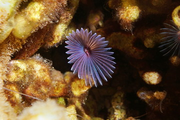 Variegated feather duster worm Bispira variegata