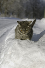 Cat goes on snowdrifts winter