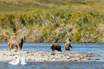Brown bear standing at a river at Katmai Alaska and her two spring cubs