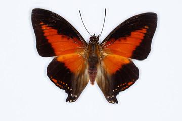 Shining red charaxes butterfly Charaxes zingha