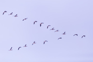 Flock of migrating bean geese