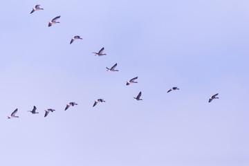Flock of migrating bean geese