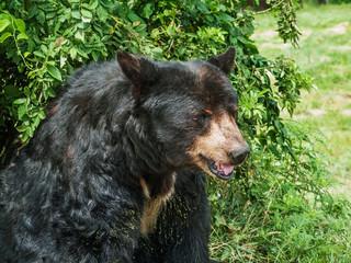 Black Bear Study