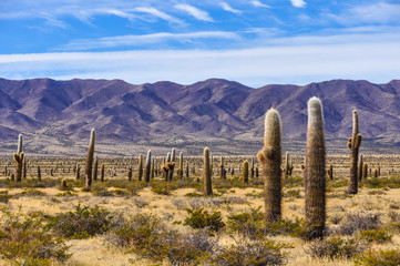 Cactus forest in los Cardones National Park, Argentina Wall mural