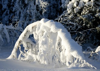 Bent Spruce With snow