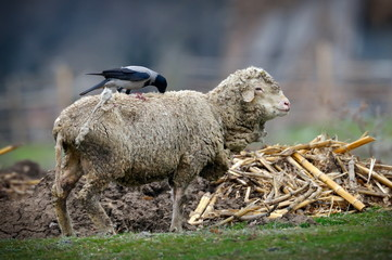 crow on sheep  (corvus frugilegus)
