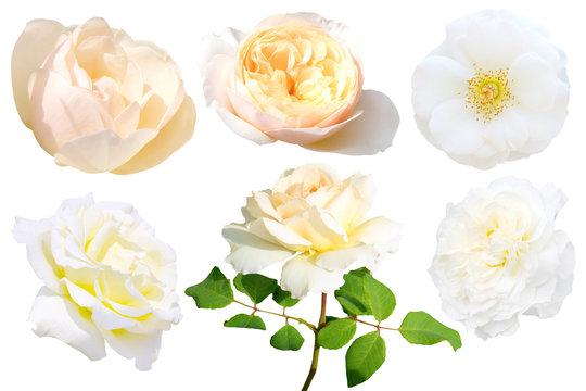 Set of white rose isolated