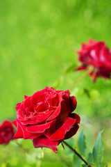 Beautiful red rose in a garden.