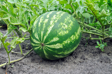 close-up of the ripening watermelon