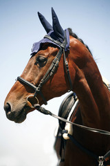 Head shot of a racehorse on blue sky background
