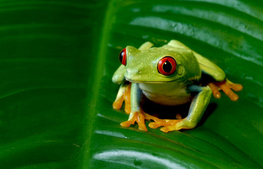 Red Eye Tree Frog sitting on leaf