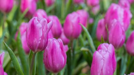 Tulip flower.
