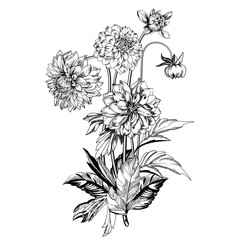 Vintage elegant flowers. Black and white vector illustration. Dahlias flowers. Botany.