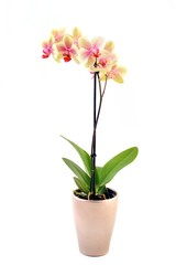 Fototapeta orchidea Phalaenopsis im Blumentopf