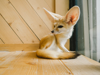 Fennec fox as a pet.