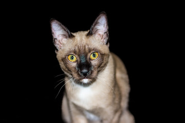 beautiful portrait of a brown cat on a black background