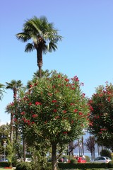 Oleander trees blooming red in Stresa on Lake Maggiore, Italy