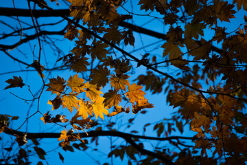 yellow maple leaf and tree in autumn with blue sky and sunlight