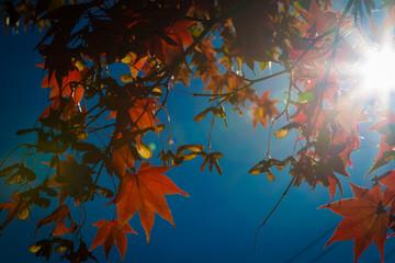 autumn maple leaf and tree