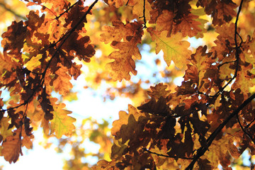 autumn oak tree leaves background