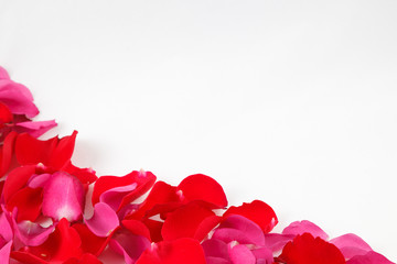 Petals of red and pink roses on white background