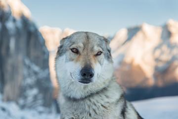 Lupo dei Carpazi (lupo Cecoslovacco)