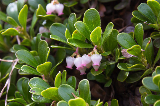 Bearberry Leaves and flowers , Arctostaphylos uva ursi. Plant with medicinal properties