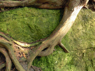 Strong root clinging to mossy green rock - landscape photo