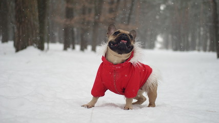 French bulldog in red jacket on the walk in forest