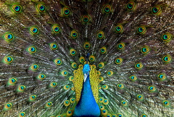 Beautiful male peacock with feathers out