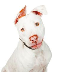 White Pit Bull Crossbreed Dog Closeup