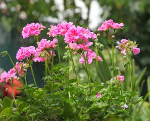 Photos illustrations et vid os de g ranium lierre - Geranium lierre double ...