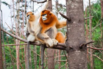 Wild leaf monkey