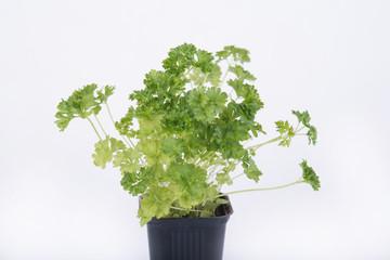 Fresh parsley in the kitchen.