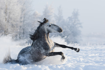 Fototapete - Grey purebred Spanish horse sliding on snow