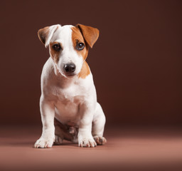 Puppy on a brown background